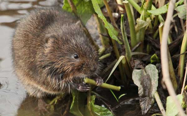 Exciting spot… a water vole at St Nicks. Photographs: Ian Traynor