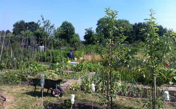 Dreamy summer days at the York allotment. Plus a bit of hard work…