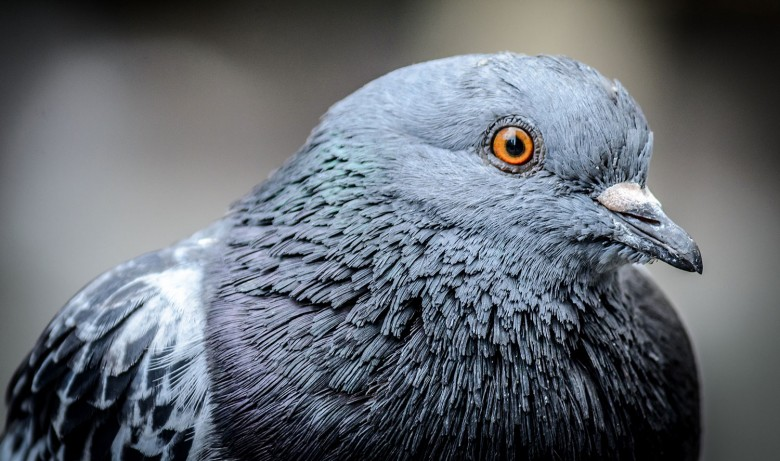 What a coo… A pigeon, Photograph ©  Robert Claypool on Flickr